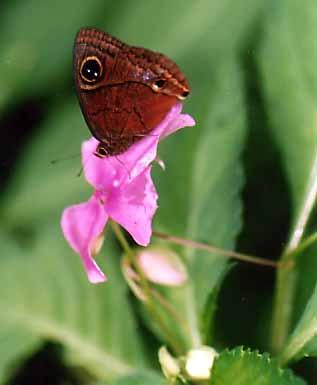 butterflyc.jpg